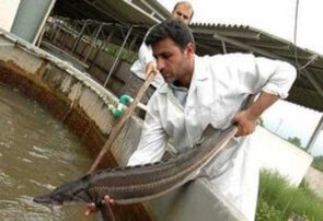 تولید سه هزار قطعه ماهی خاوریار پرورشی در سبزوار/کسب رتبه برتر تولید ماهی قزل آلا در استان