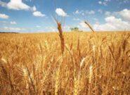 پیشبینی برداشت ۱۲ هزار تن گندم از سطح مزارع سبزوار